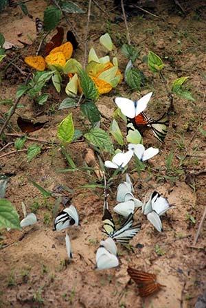 Butterflies gathering around Amazon jungle rain puddle