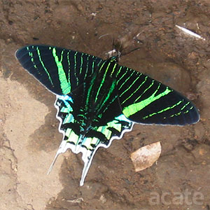 Amazon urania moth feeding on moisture in mud