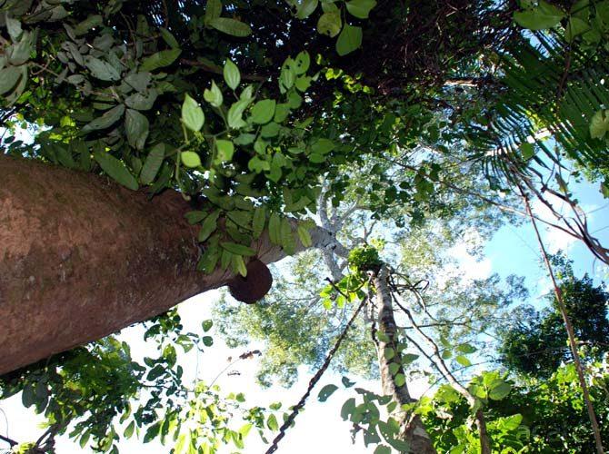 copaiba in peruvian amazon rainforest