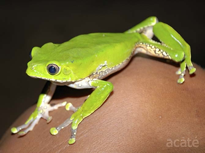 acate green monkey tree frog amazon