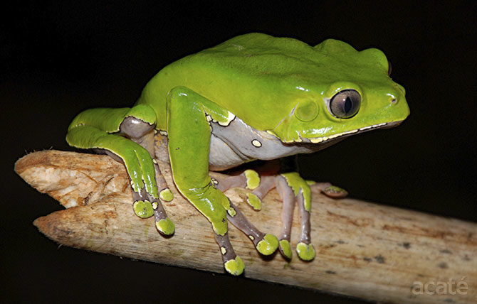 Phyllomedusa bicolor giant monkey tree frog on stick