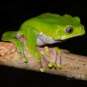 Giant Monkey Tree Frog Phyllomedusa bicolor Peruvian Amazon Rainforest photo