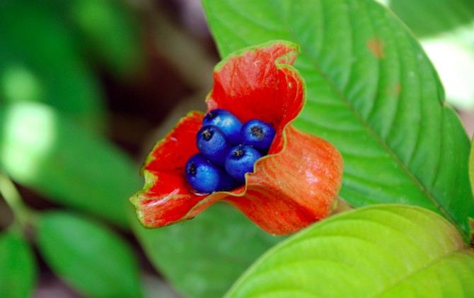 Psychotria poeppigiana hot lips flower image