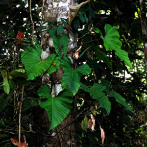 phyllodendron plant growing in amazon tropical rainforest