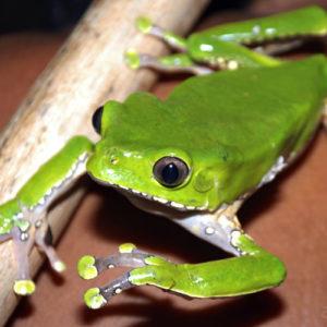 phyllomedusa bicolor giant leaf frog walking