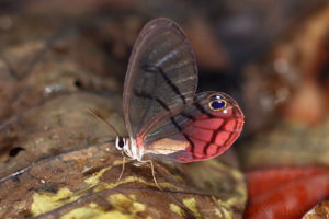 Blushing Phantom butterfly Cithaerias pireta