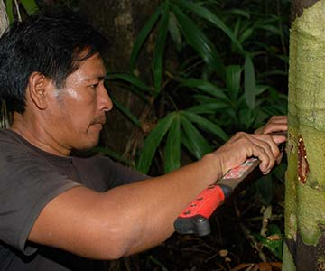 matse harvesting medicinal resin from rainforest tree photo