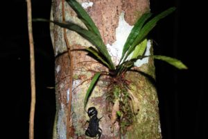 black scorpion and bromeliad during night jungle hike in amazon rainforest
