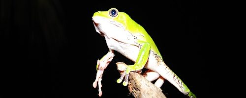 acaté frog on stick at night reaching for us to help