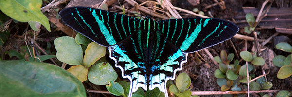 tropical butterfly from amazon rainforest in Peru