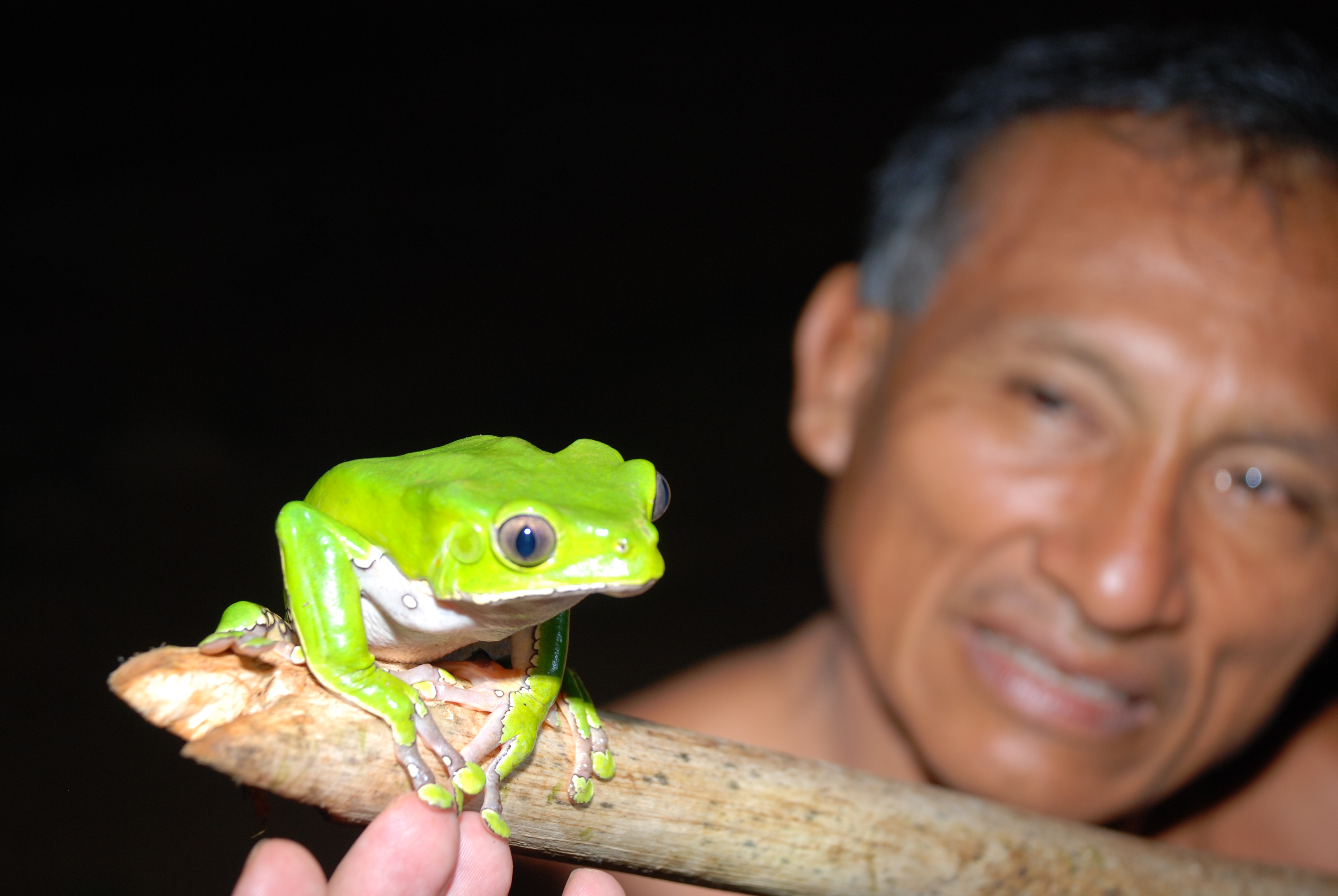 Monkey frog phyllomedusa bicolor Acaté Amazon