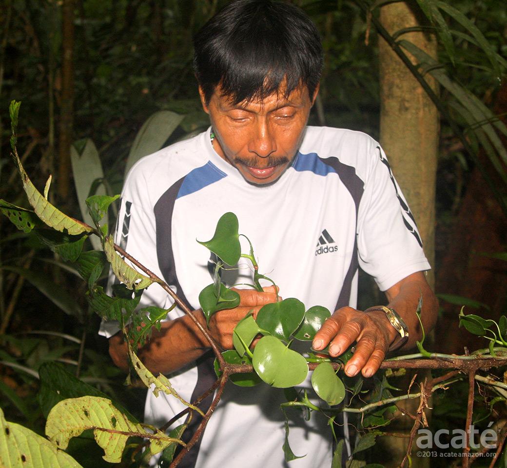 Lucho Matsés shaman collecting vines