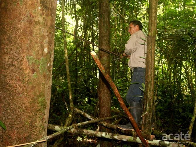 copaiba resin extraction amazon rainforest