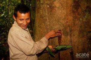 Harvesting copaiba resin