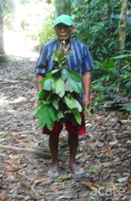 Medicinal plant shaman Matsés Amazon