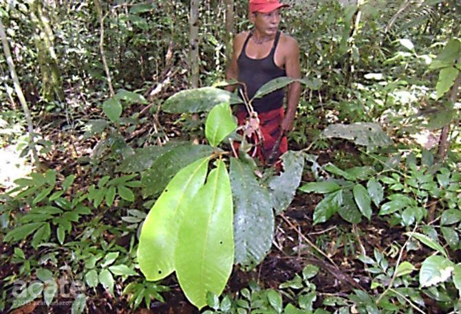 matsés indigenous medicine shaman