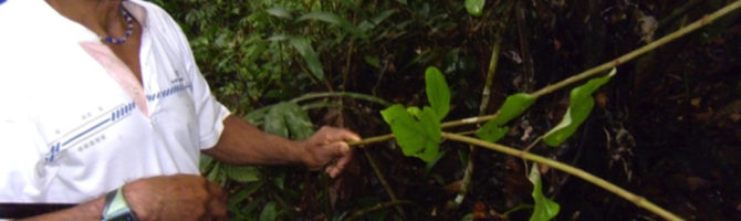 Traditional medicinal plants amazon rainforest