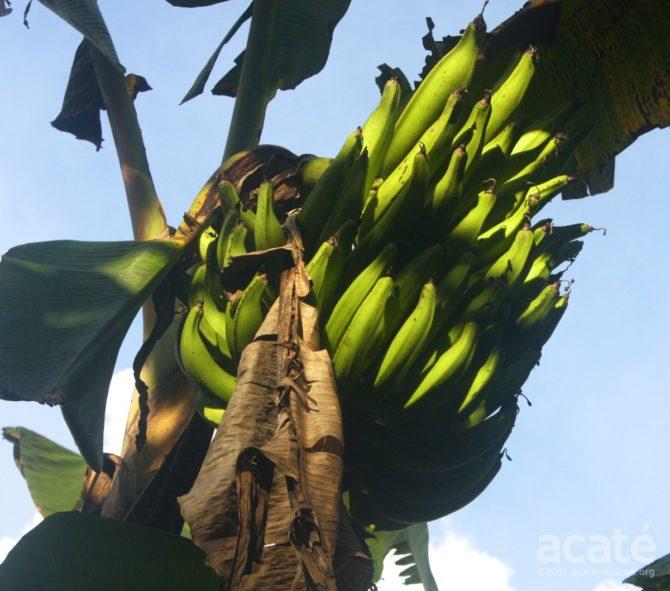 large plantain bunch matsés agriculture