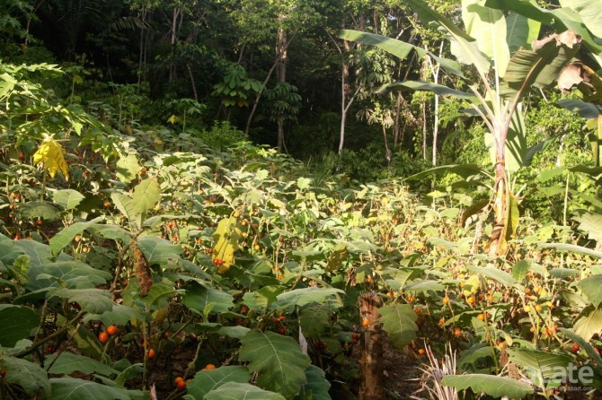 Matsés alley crop using cocona