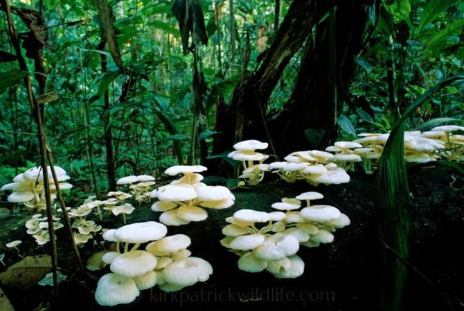 Amazon Fungi 1097