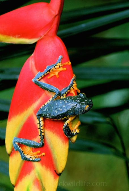 The rare and spectacular Amazon Leaf Frog (Cruziohyla craspedopus) on a Heliconia ©kirkpatrickwildlife.com