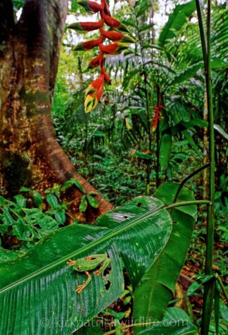 barred leaf frog amazon kirkpatrick