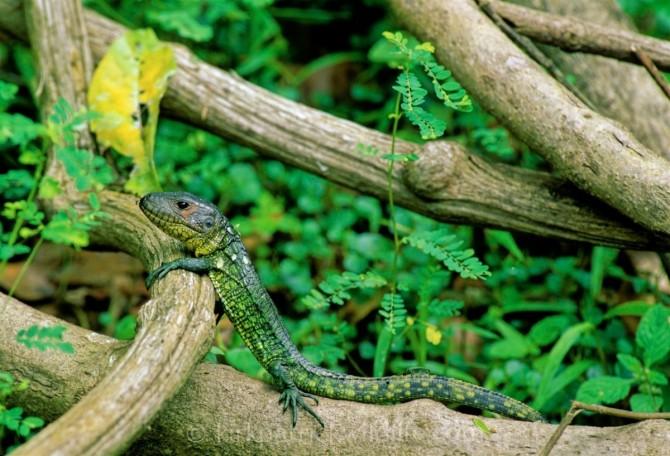 Dracaena quianensis Caiman Lizard Amazon Kirkpatrick