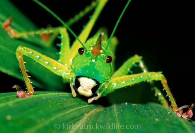 Cone-headed Katydid , Amazon Kirkpatrick