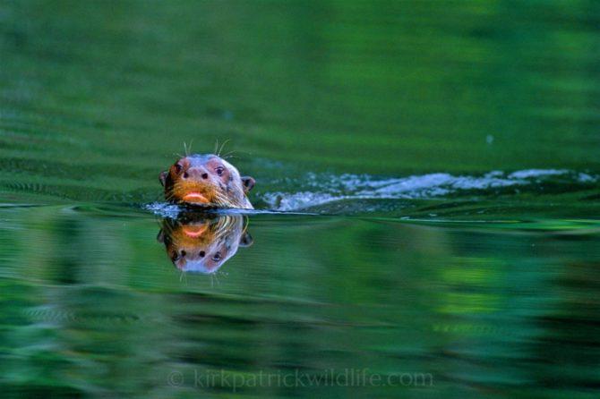 Rufescent tiger heron (Tigrisoma lineatum), a familiar sight prowling along the riverbank ©kirkpatrickwildlife.com