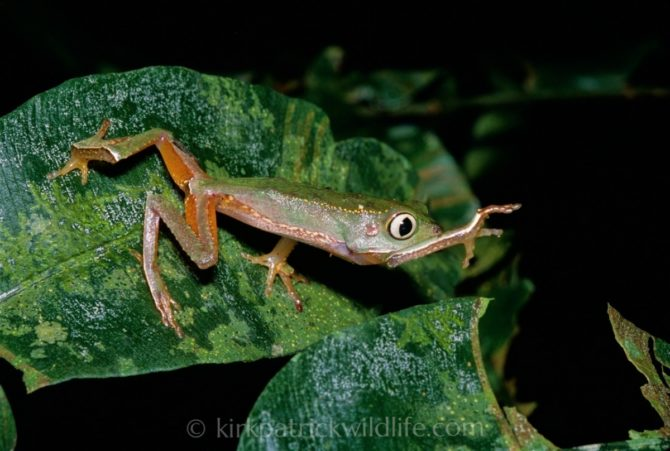 Phyllomedusa vaillanti monkey frog