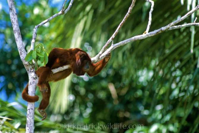 Red Howler Monkey, Amazon Kirkpatrick