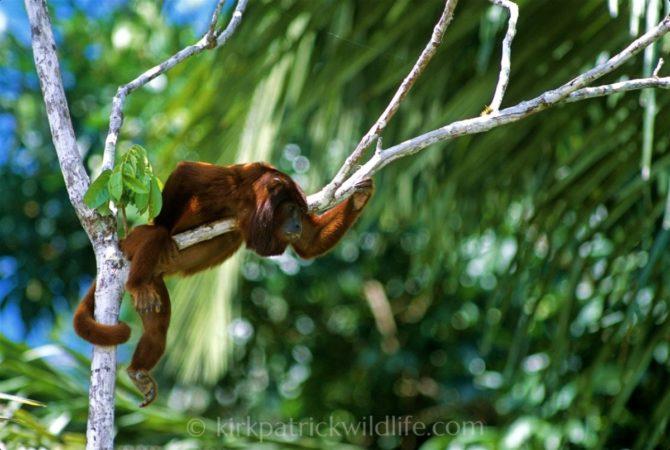 Red Howler Monkey, Amazon Kirkpatrick