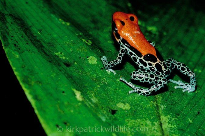 Reticulated poison dart frog (Ranitomeya reticulata) ©kirkpatrickwildlife.com