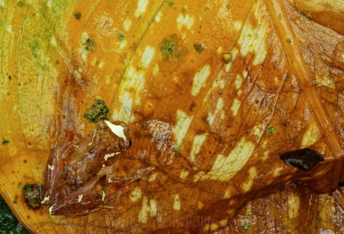 TRoss Allen's Frog (Hyla rossalini) -©kirkpatrickwildlife.com