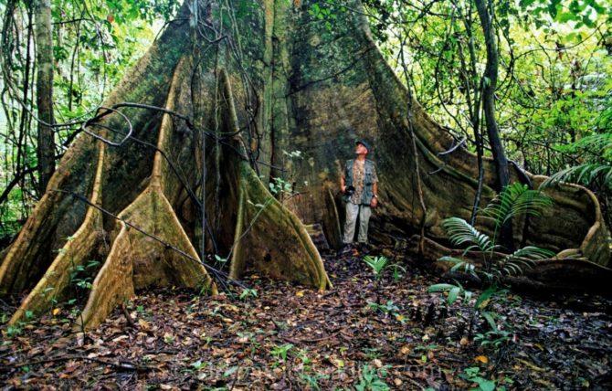 ceiba tree Amazon rainforest  kirkpatrick