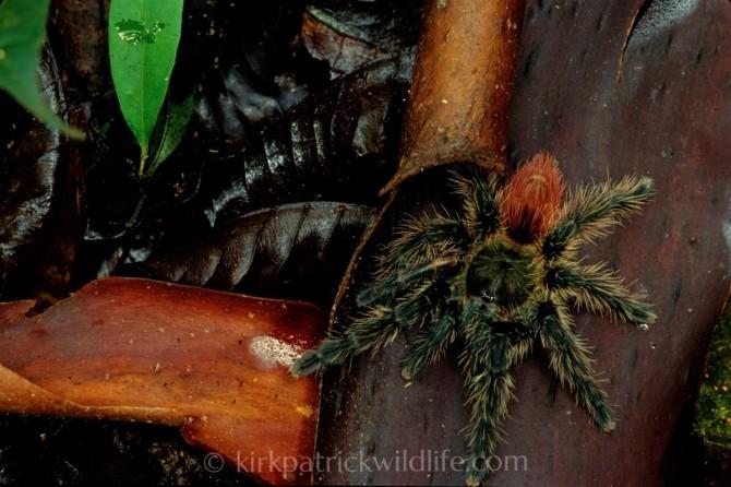 Theraphosidae sp. tarantula kirkpatrick