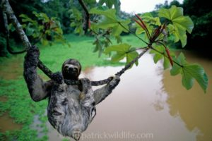 three-toed sloth hanging amazon