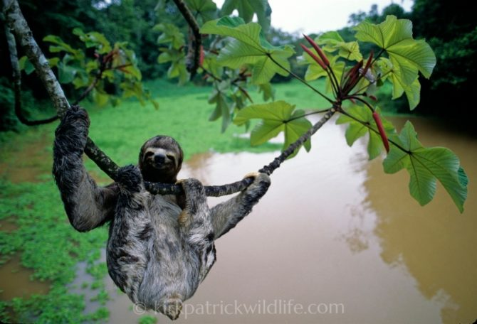 three-toed sloth hanging amazon