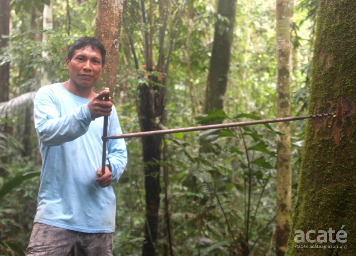 sustainable copaiba harvest amazon rainforest