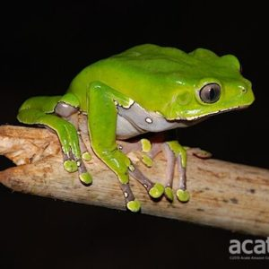 giant monkey tree frog acaté