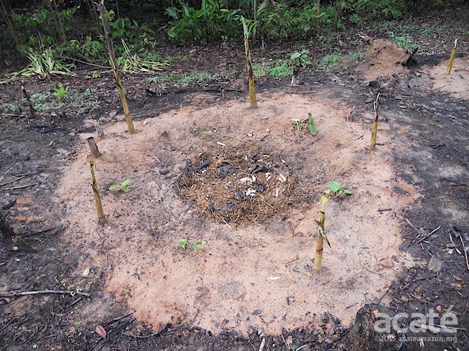 A newly planted plantains circle with malanga plants