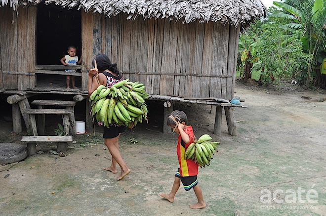plantain harvest far from home