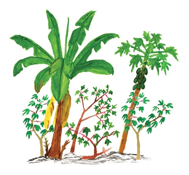 Matsés swidden with plantains, manioc, and papayas, drawn by Matses artist Guillermo Nëcca Pëmen Mënquë