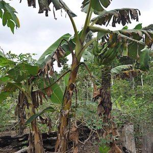 mani misin plantain variety