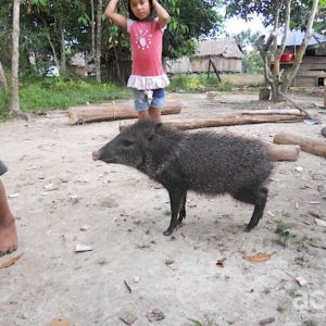 baby collared peccary