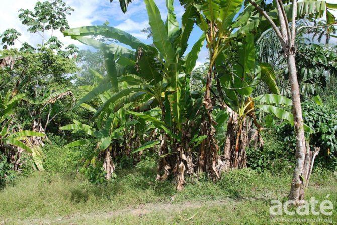 matses permaculture banana circles