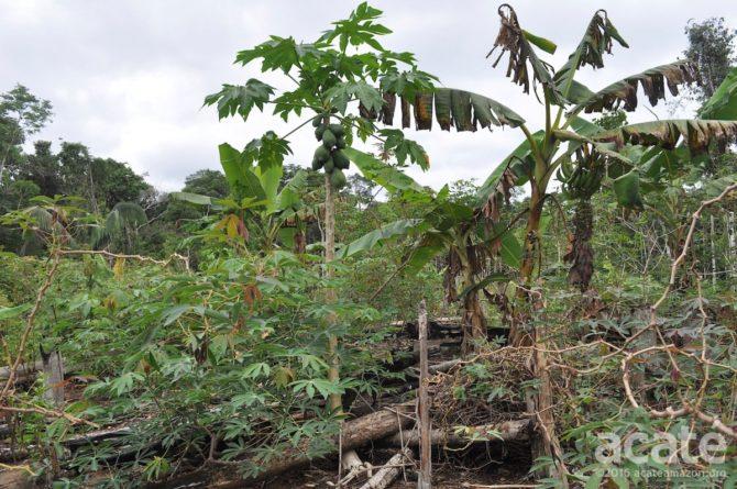 amazon permaculture polyculture plantain papaya