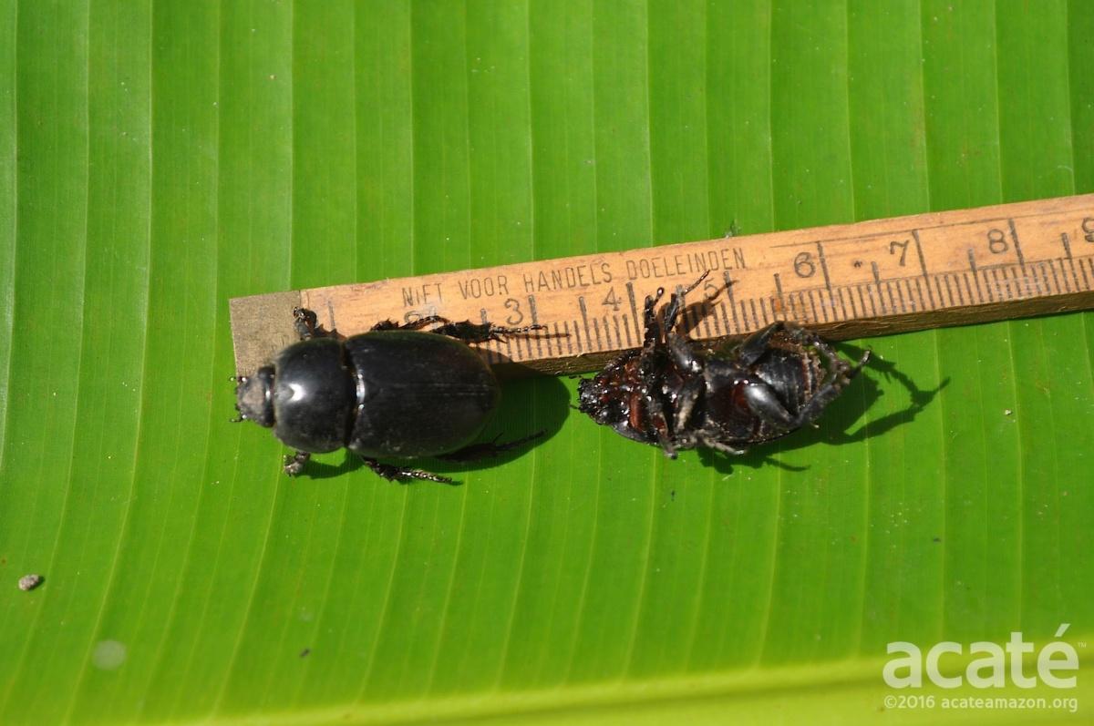 plantain scarabs