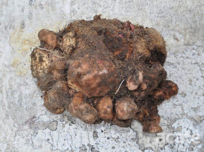 bëbiukud corm with cormels amazon plant