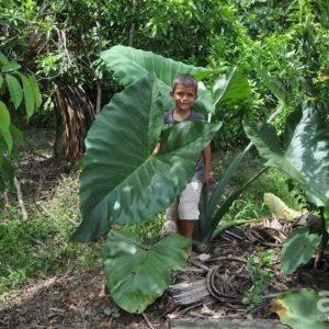 adult siante tapun plant amazon
